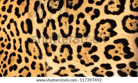 Real Live Jaguar Skin Fur Texture Background Panthera Onca