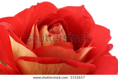 real macro of red rose