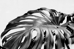 Real monstera leaves decorating for composition design.Tropical,botanical nature concepts ideas. Black and white
