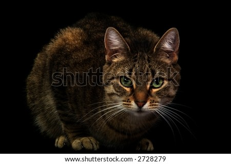 Real photo of a posing cat with highlights, shot over black