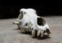 real skull of a dog or wolf with few teeth and tusks, head part of a skeleton with a rough dark background - wallpaper picture