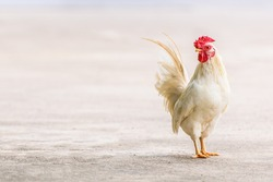 Real White Farming Poultry Chicken on the Ground / Hen for Food with Sale or Wholesale / Genetically Modified Organism GMOs/Natural Organic Feeding