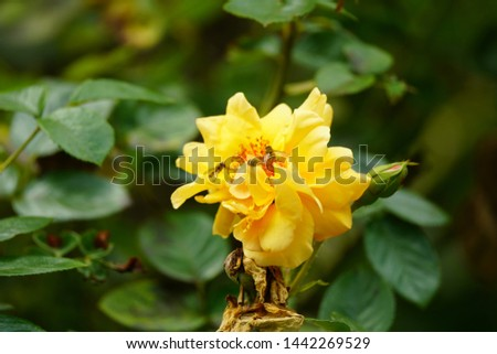real wild honey roses attract real fast wild bees #1442269529