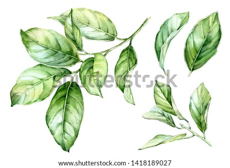 Realistic botanical watercolor illustration of green leaves set on the branch, citrus tree commercial detailed collection isolated clipart hand drawn on while background