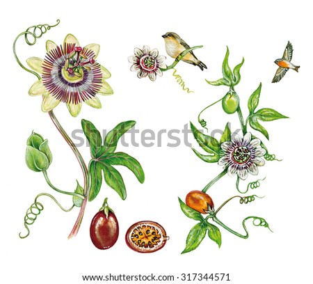 realistic illustration of passion fruit maracuja or purple granadilla plant (Passiflora edulis) with a branch with flower, fruit, leaves and tropical birds