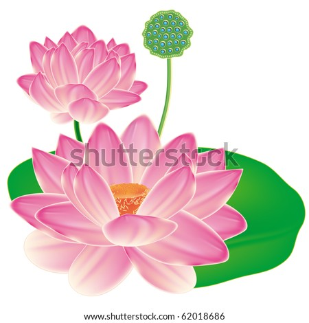 Realistic Oriental lotus - a flower isolated with a sheet, a full-blown bud and fruit box.