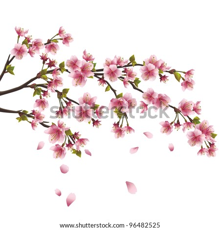 Realistic sakura blossom - Japanese cherry tree with flying petals isolated on white background