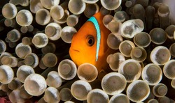 Really cute image of the rare species of Clown Fish called the Tomato Anemone Fish.Only found living in a particular anemone this was taken in the Surin Marine park in Thailand.
