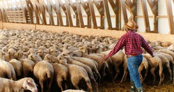 Rear on African American man in hat and red motley shirt walking in barn and leading sheep stock. Male farmer putting livestock in stable. Guy shepherd working with cattle. Back view.