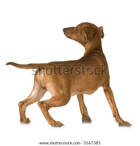 rear view of a dog looking up in front of a white background