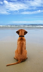 Rear view of a Rhodesian Ridgeback puppy alone on smooth wet beach sand looking out to sea under a blue sky with white clouds
