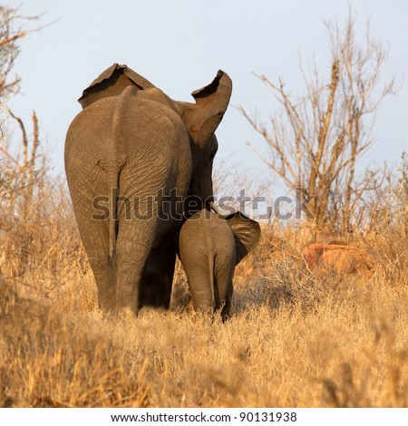 Rear view of an African elephant with her calf, Kruger National Park, South Africa.