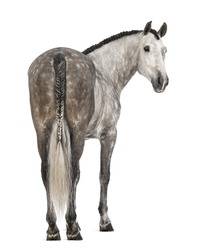 Rear view of an Andalusian, 7 years old, looking back, also known as the Pure Spanish Horse or PRE against white background
