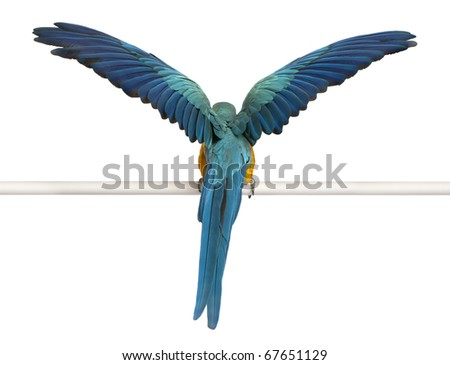 Rear view of Blue and Yellow Macaw, Ara Ararauna, perched and flapping wings in front of white background