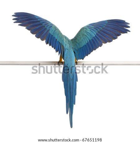 Rear view of Blue and Yellow Macaw, Ara Ararauna, perched and flapping wings in front of white background - stock photo
