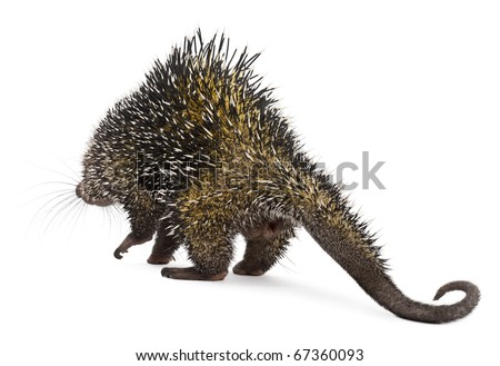 Rear view of Brazilian Porcupine, Coendou prehensilis, walking in front of white background