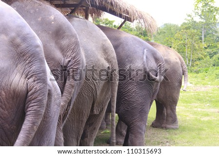 rear view of five elephants