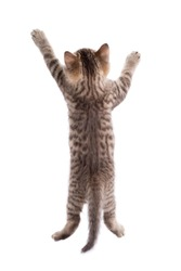 rear view of funny tabby cat kitten isolated on white
