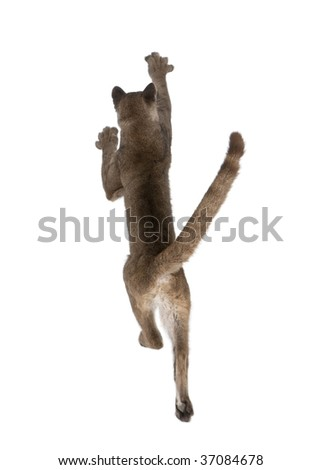 Rear view of Puma cub, Puma concolor, 1 year old, leaping in midair against white background, studio shot