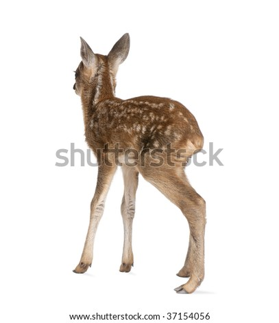 Rear view of Roe Deer Fawn, Capreolus capreolus, 15 days old, standing against white background, studio shot