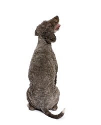Rear view of Spanish water spaniel dog, 3 years old, sitting in front of white background