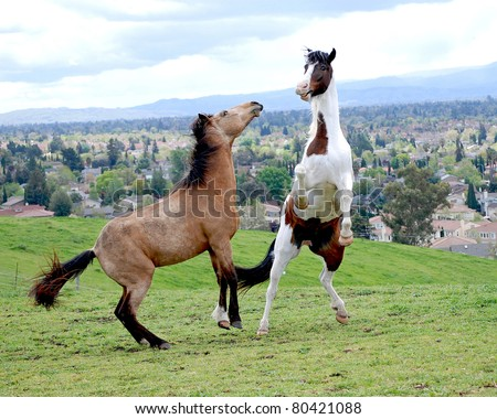 Rearing Horses. Two Tennessee Walker geldings rearing and playing on a beautiful spring afternoon.