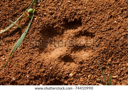 Recent foot print of a cat in surface of soft wet mud.