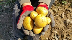 recently collected from the site potatoes in the hands of the girl, is visible only gloves and potatoes, autumn memories