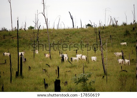 Recently cut and burned rainforest turned into a cattle ranch in the Brazilian Amazon, where cattle ranching is the biggest cause of deforestation.