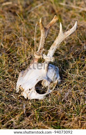 Recently dead  roe deer antlers and skull