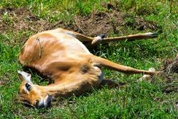Recently killed female antelope impala lying on the ground. Dead animal close-up