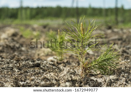 Reclamation of an oil production site. Planting pine seedlings. Stockfoto ©