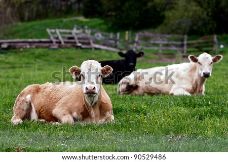 reclined cattle group stare