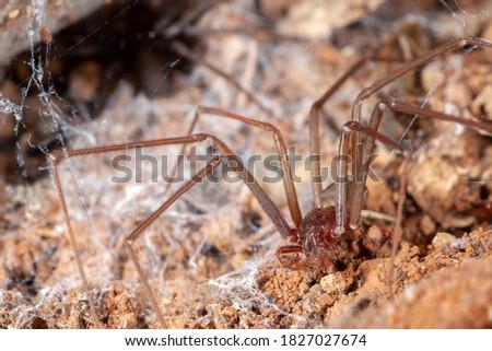 Recluse spider on natural habitat - danger poisonous spider Foto stock ©