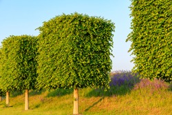 Rectangular shaped trees on blue sky background and near roadway, Waldorf Germany. Beautifully trimmed trees. Beautiful wonderful scenery landscape