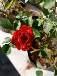 Red – A red rose is an expression of love. Red roses usually show deep feelings, like love, longing, or desire.Red roses can also be used to show respect, admiration, or devotion. it is the nature.