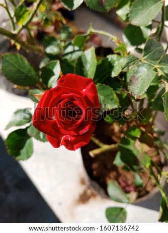 Red– Ared roseis an expression of love.Red rosesusually show deep feelings, like love, longing, or desire.Red rosescan also be used to show respect, admiration, or devotion. it is the nature.  Stock photo ©