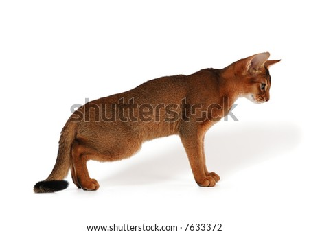 Abyssinian Cat Cougar