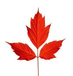Red acer negundo leaf. Isolated on white background.
