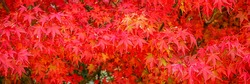 Red acer palmatum ( palmate  smooth Japanese maple ) leaves.  Red-foliaged Japanese maple, closeup. Good Red Fall Foliage, banner
