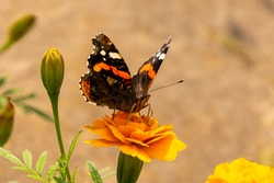 Red Admiral Butterfly or Vanessa atalanta admiral butterfly sitting on an orange flower on a summer sunny day and Fonding  of nectar