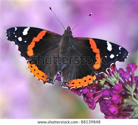 Red Admiral butterfly (Vanessa atalanta) on a purple butterfly bush.