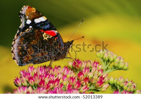 Red Admiral on the flower closeup