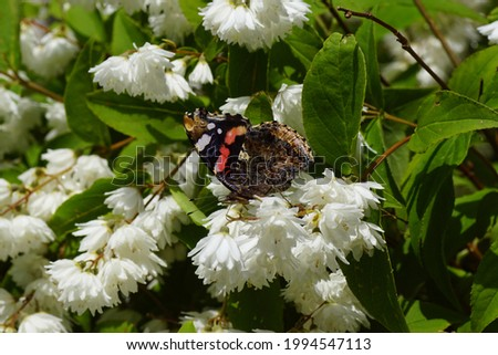 Red admiral, red admirable (Vanessa atalanta), family Nymphalidae on white flowers of the shrub Deutzia, family Hydrangeaceae. Dutch garden. June                                Stock photo ©