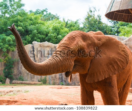 Red african elephant