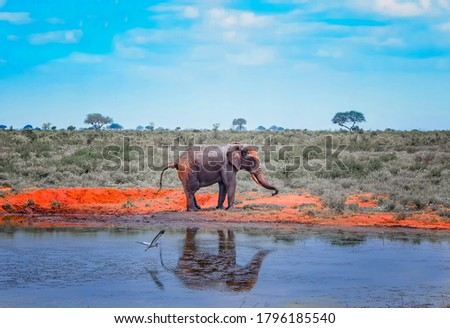 Red African elephant stand next to a watering hole in Africa. It is a wildlife photo of Tsavo East National park, Kenya. His image is reflected in the water. stock photo
