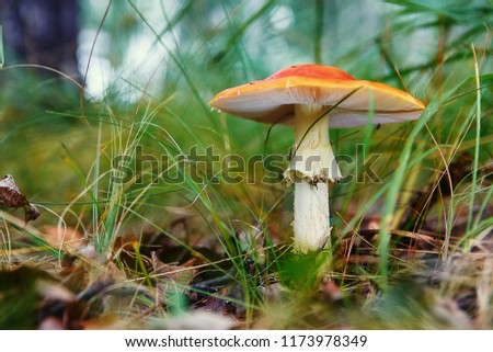Red agaric mushroom growing in the grass.