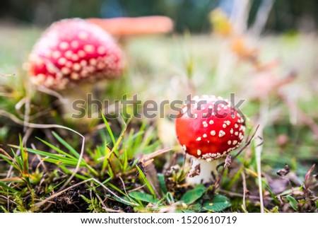 Red agaric mushroom. Toadstool in the grass. Amanita muscaria. Toxic mushroom