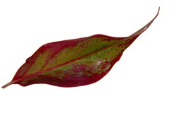 Red Aglaonema Siam Aurora leaves (Aglaonema Lipstick Plant) has green-red-yellow striped, red border and water drops. Chinese Evergreens (Aglaonema) are beautiful colorful leaves. Rural Thailand.