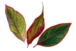 Red Aglaonema Siam Aurora leaves (Aglaonema Lipstick Plant) has green-red-yellow striped, red border and water drops. Chinese Evergreens (Aglaonema) are beautiful colorful leaves. White background.
